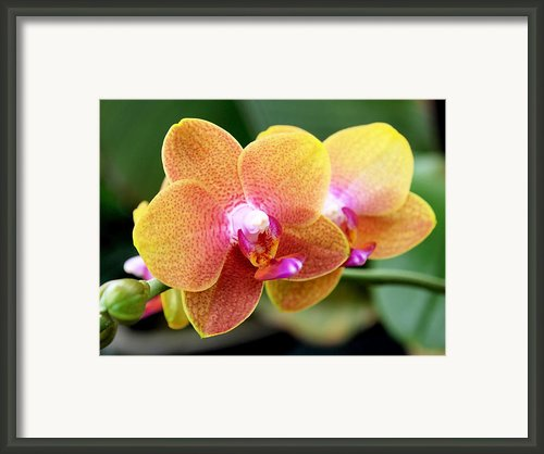 Pink Yellow Orchid Framed Print By Rona Black