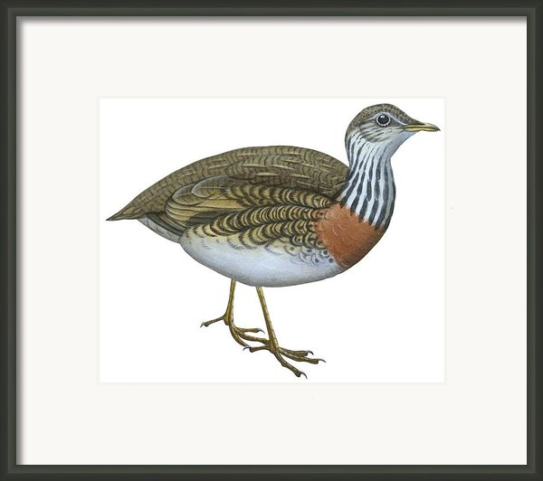 Plains Wanderer  Framed Print By Anonymous