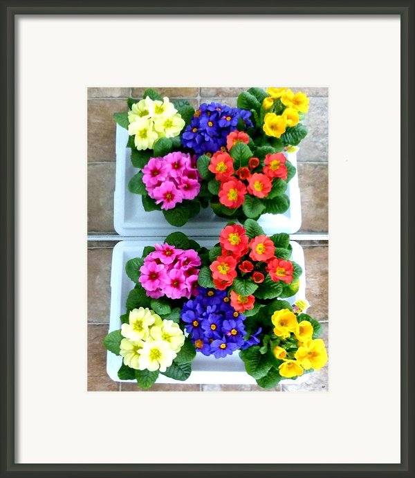 Polyanthus Primroses Framed Print By Will Borden