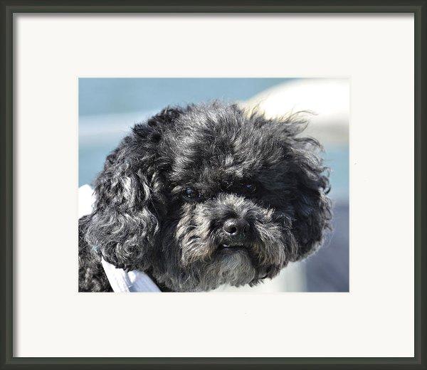 Poodle Framed Print By Susan Leggett