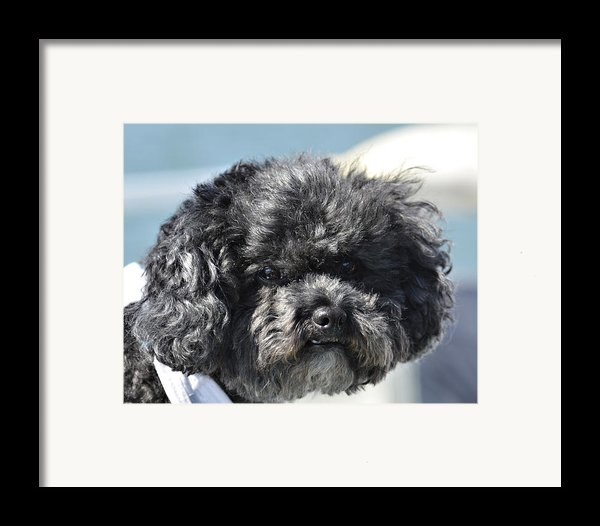 Poodle Framed Print By Susan Leggett