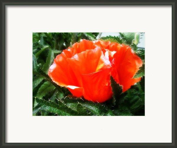 Poppy Flower Framed Print By Heather L Giltner