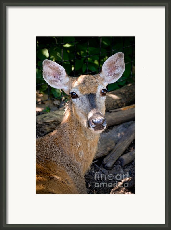 Portrait Of A Deer Framed Print By Amy Cicconi