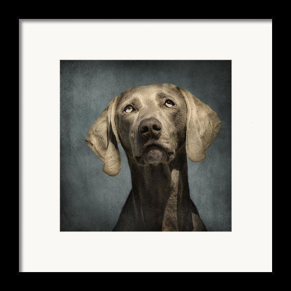 Portrait Of A Weimaraner Dog Framed Print By Wolf Shadow  Photography