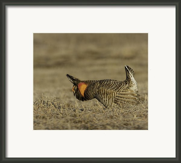 Prairie Chicken-9 Framed Print By Thomas Young
