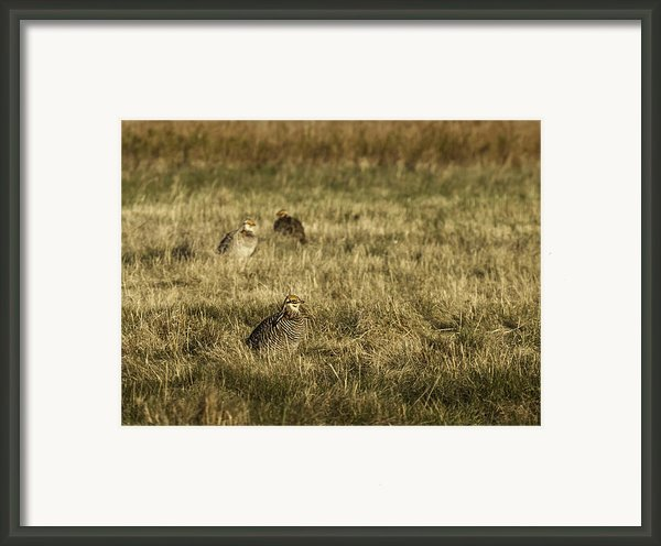 Prairie Chickens After The Boom Framed Print By Thomas Young