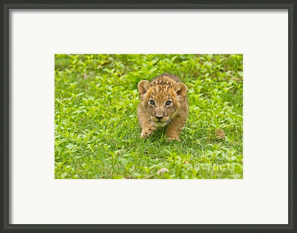 Predator In The Making Framed Print By Ashley Vincent