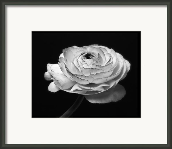 Prelude - Black And White Roses Macro Flowers Fine Art Photography Framed Print By Artecco Fine Art Photography - Photograph By Nadja Drieling
