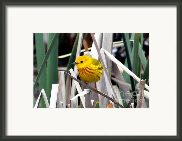 Pretty Little Yellow Warbler Framed Print By Elizabeth Winter