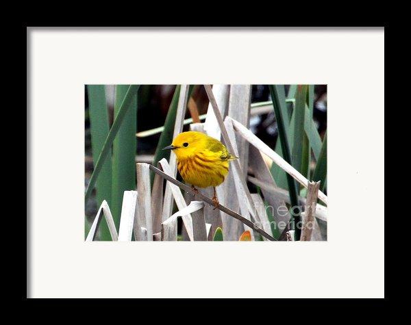 Pretty Little Yellow Warbler Framed Print By Elizabeth Winter