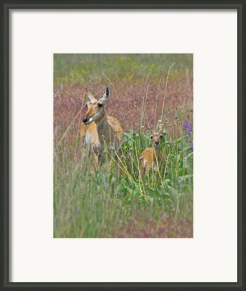 Pronghorn Doe And Fawn Framed Print By Karon Melillo Devega