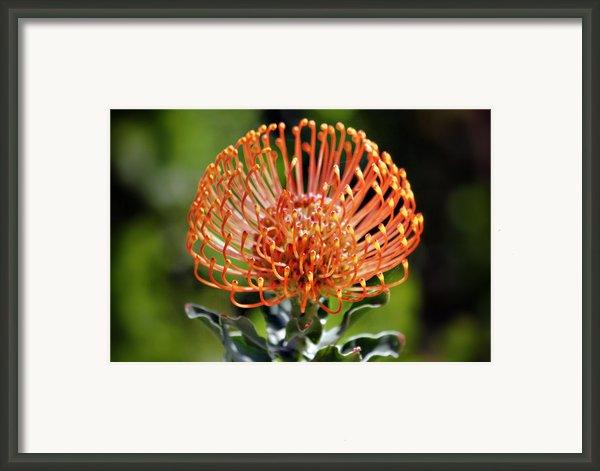 Protea - One Of The Oldest Flowers On Earth Framed Print By Christine Till