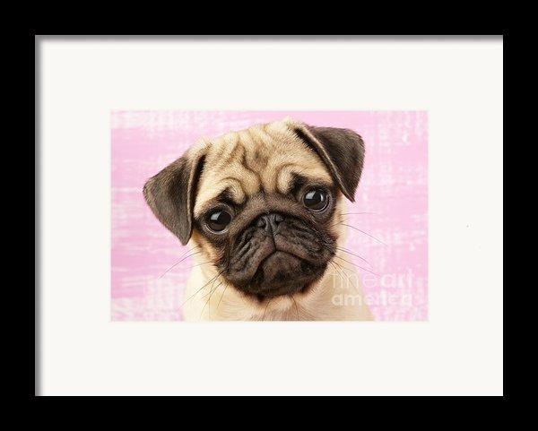 Pug Portrait Framed Print By Greg Cuddiford