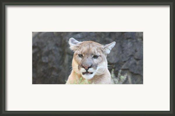 Puma Head Shot Framed Print By John Telfer