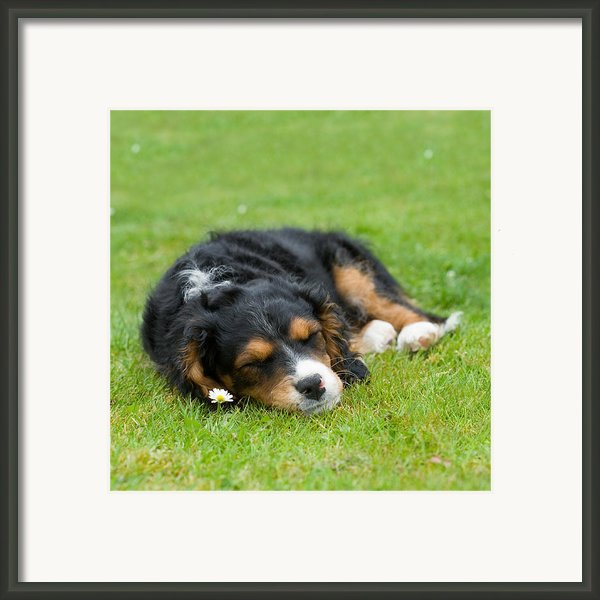 Puppy Asleep With Garden Daisy Framed Print By Natalie Kinnear