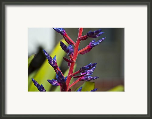 Purple Spike Bromeliad Framed Print By Sharon Cummings