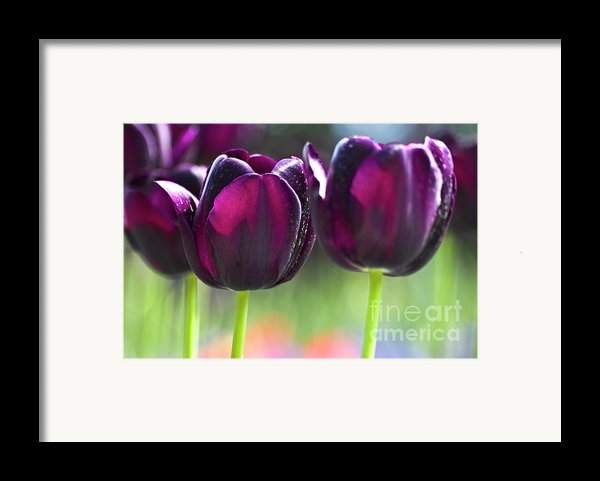 Purple Tulips Framed Print By Heiko Koehrer-wagner