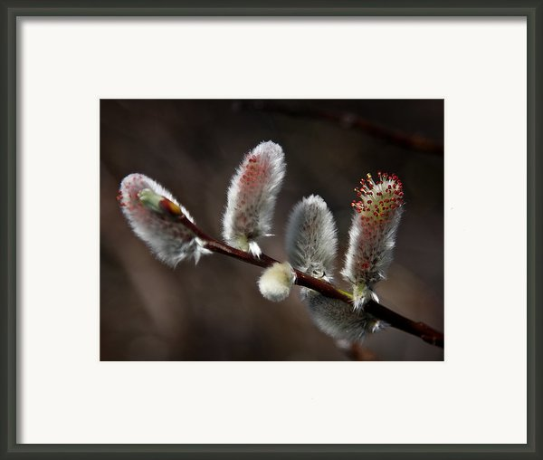 Pussy Willows Framed Print By John Haldane