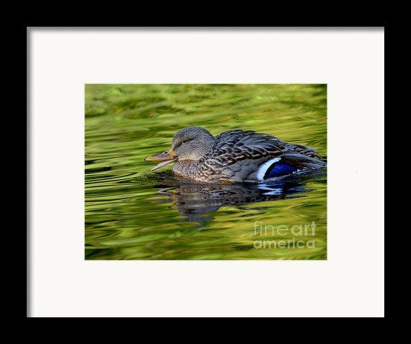 Quack Framed Print By Sharon  Talson