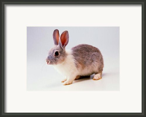 Rabbit 2 Framed Print By Lanjee Chee
