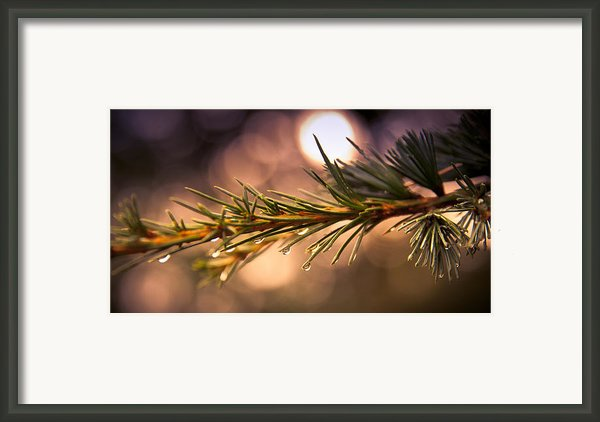 Rain Droplets On Pine Needles Framed Print By Loriental Photography