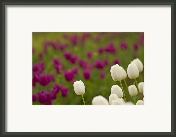 Rain Drops Keep Falling On My Tulips Framed Print By Nick  Boren