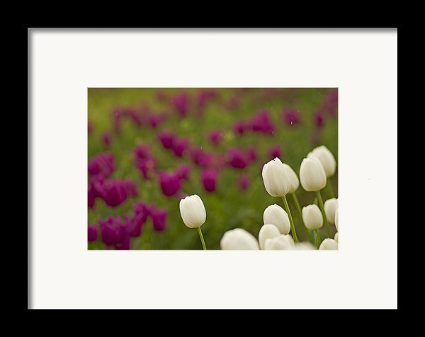 Rain Drops Keep Falling On My Tulips Framed Print By Nick  Boren