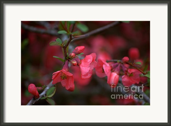 Rain On Crab Apple Blossoms Framed Print By Leia Burt