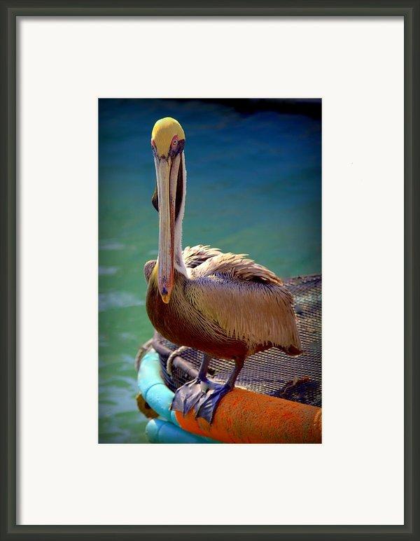 Rainbow Pelican Framed Print By Karen Wiles
