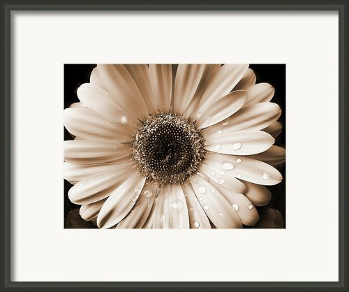 Rainsdrops On Gerber Daisy Sepia Framed Print By Jennie Marie Schell