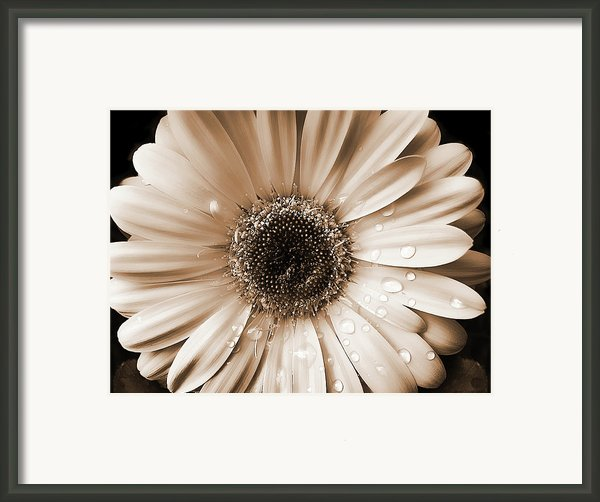 Rainsdrops On Gerber Daisy Sepia Framed Print By Jennie Marie Schell