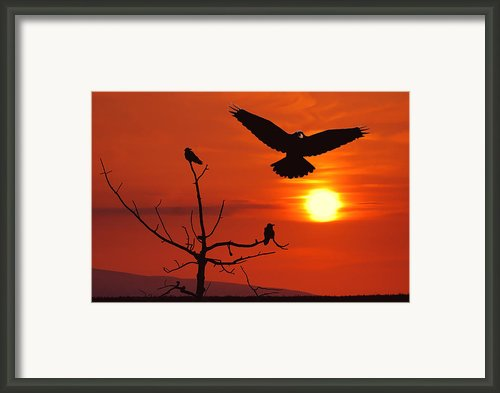 Raven Maniac Framed Print By Ron Day
