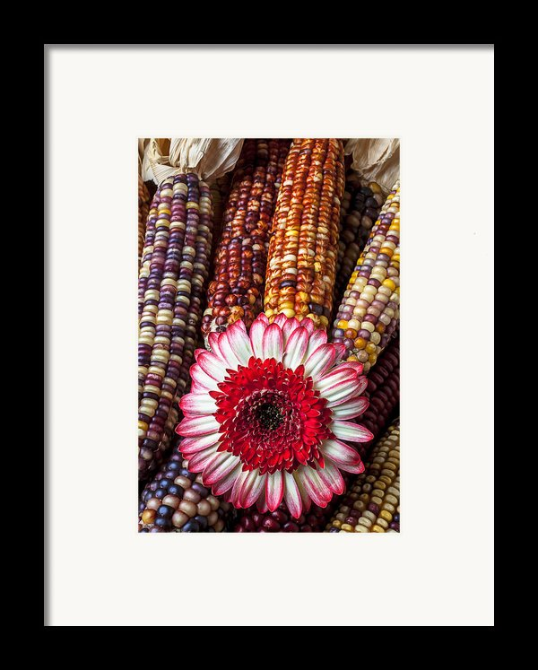 Red And White Mum With Indian Corn Framed Print By Garry Gay