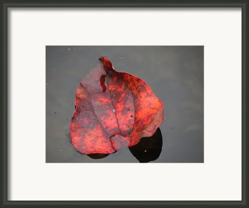 Red Briar Leaf On Water Framed Print By Chuck Buckner