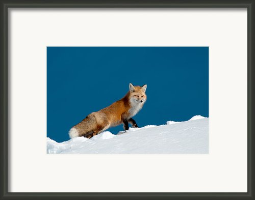 Red Fox Framed Print By Gary Beeler