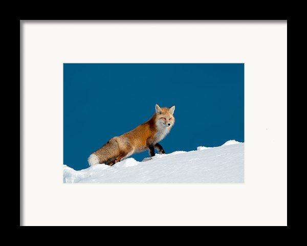 Red Fox Framed Print By Gary Beeler