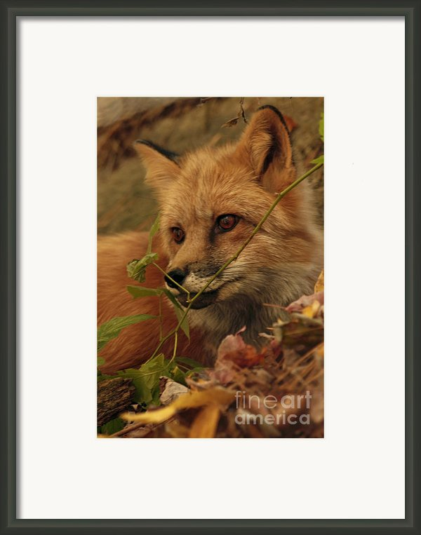 Red Fox In Autumn Leaves Stalking Prey Framed Print By Inspired Nature Photography By Shelley Myke