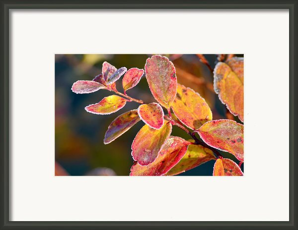 Red Frosty Orange Leafs Framed Print By Tommy Hammarsten
