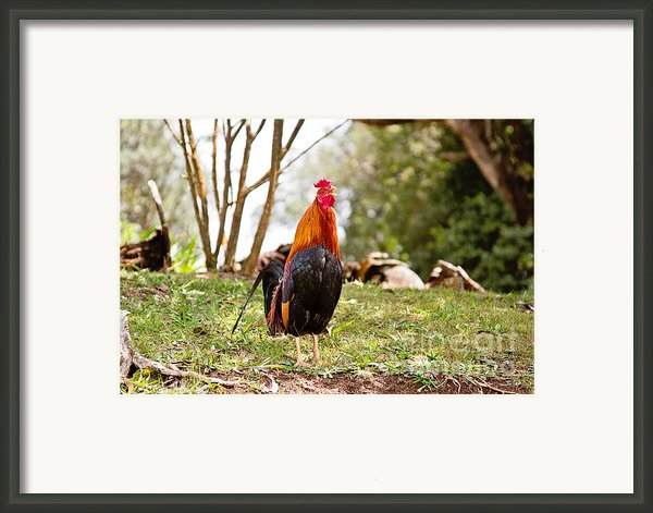 Red Jungle Fowl - Moa Framed Print By Scott Pellegrin