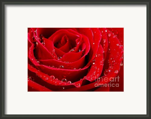 Red Rose Framed Print By Elena Elisseeva
