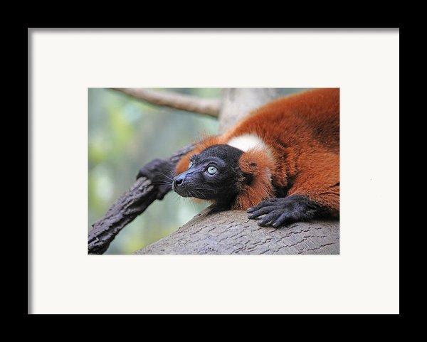 Red-ruffed Lemur Framed Print By Karol  Livote