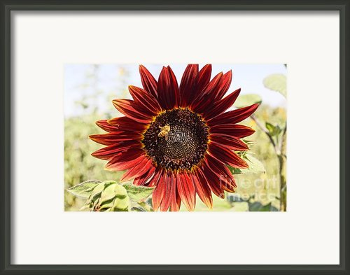 Red Sunflower And Bee Framed Print By Kerri Mortenson