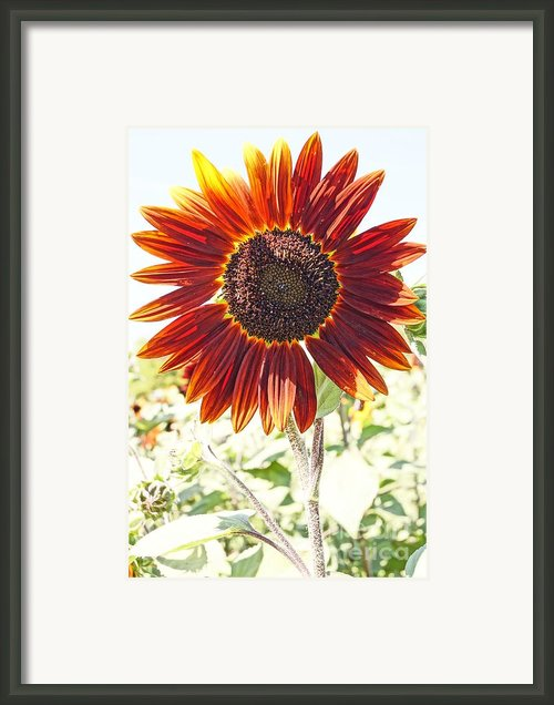 Red Sunflower Glow Framed Print By Kerri Mortenson
