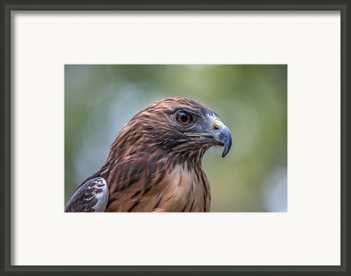 Red Tail Hawk Framed Print By John Haldane