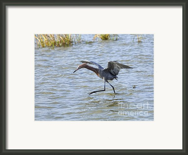 Reddish Egret Canopy Feeding Framed Print By Louise Heusinkveld
