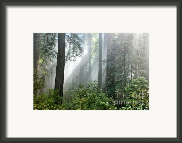 Redwood Forest With Sunbeams Framed Print By Inga Spence