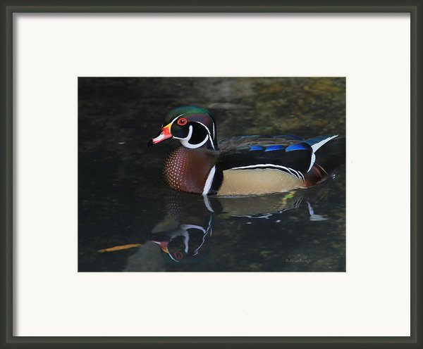 Reflective Wood Duck Framed Print By Deborah Benoit