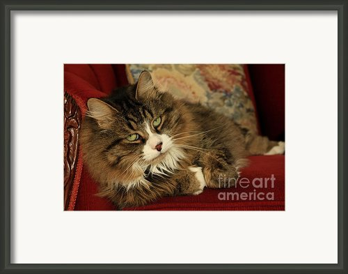 Rescue Cat Living In The Lap Of Luxury Framed Print By Inspired Nature Photography By Shelley Myke