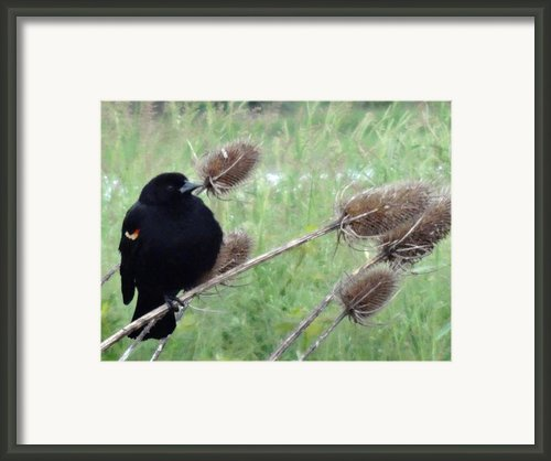 Resting Red-winged Blackbird  Framed Print By Lizbeth Bostrom