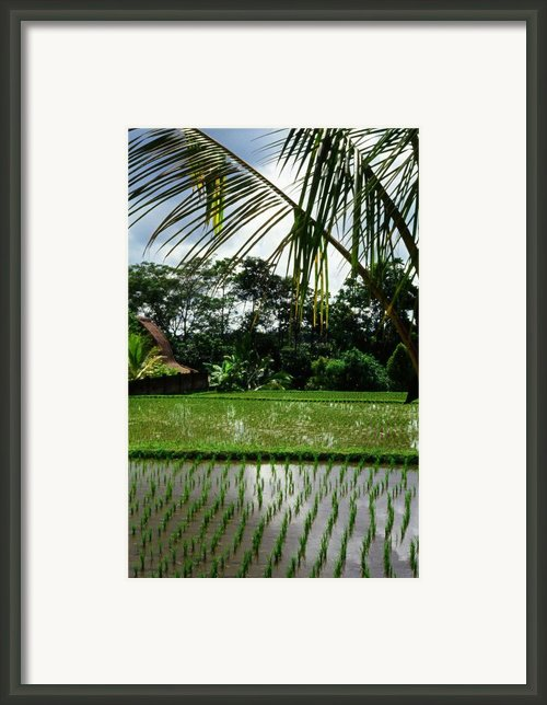 Rice Fields Bali Framed Print By Juergen Weiss